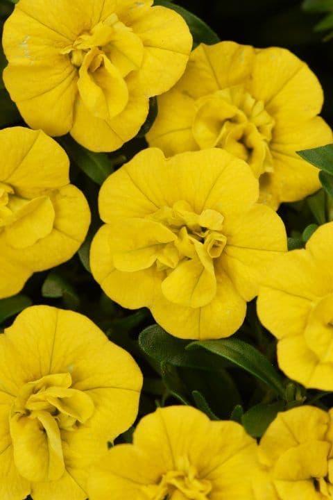 WFL® Calibrachoa Celebration Double Yellow